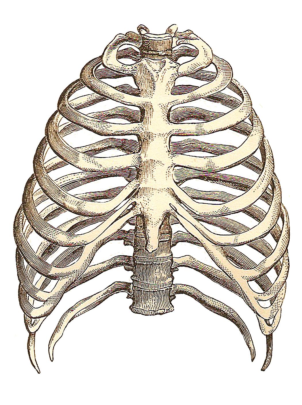 1050x1410 Rib Cage Drawing Inspiration. Rib Cage, Anatomy