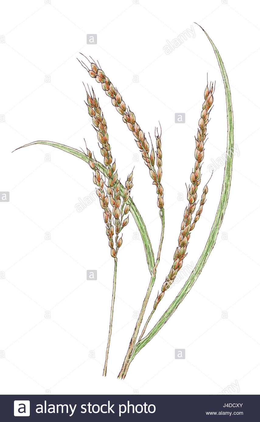 Rice Plant Drawing At Getdrawings Free For Personal Use Rice