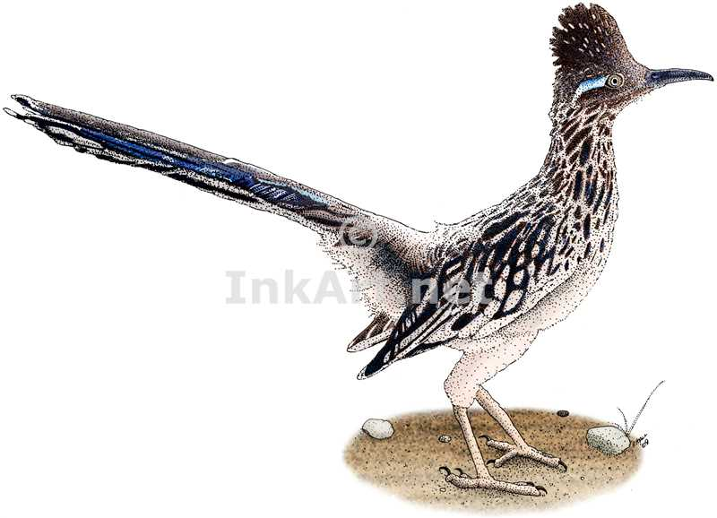 800x578 Roadrunner (Geococcyx Californianus) Stock Art Illustration