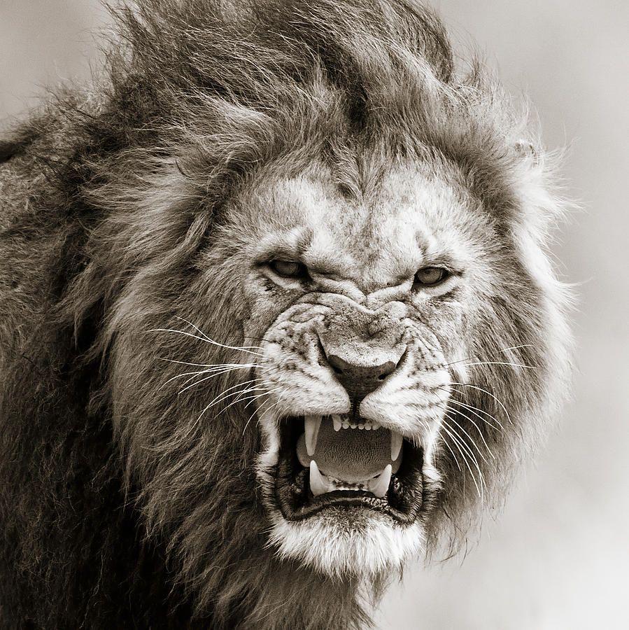 899x900 Male Lions Roaring Wallpaper