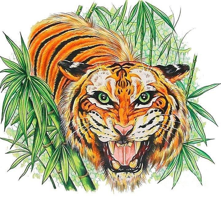 720x646 Tiger Roar Drawing By Kimberlee Ketterman Edgar