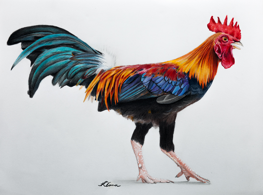 900x670 Rooster Sketch Zentangles Colored Pencil Drawings