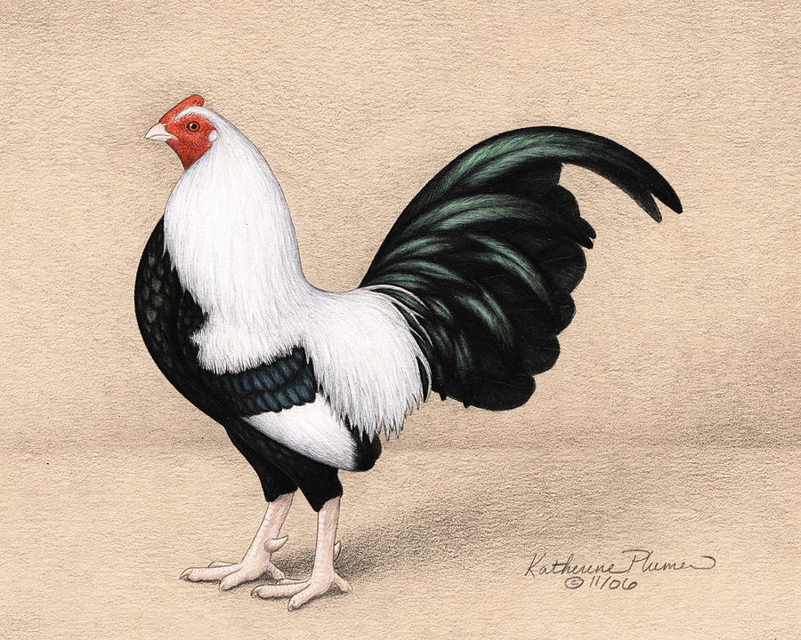 900x720 Silver Duckwing Old English Game Bantam Drawing By Katherine Plumer