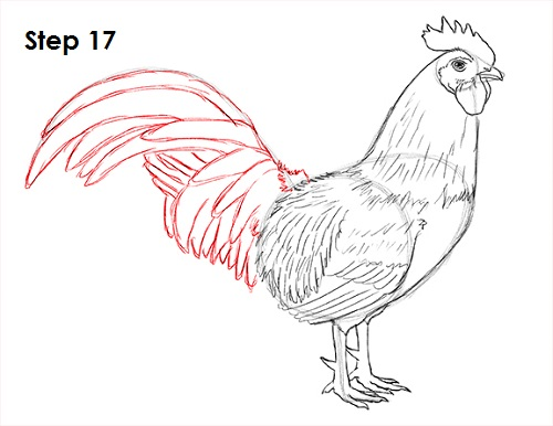 500x386 How To Draw A Rooster