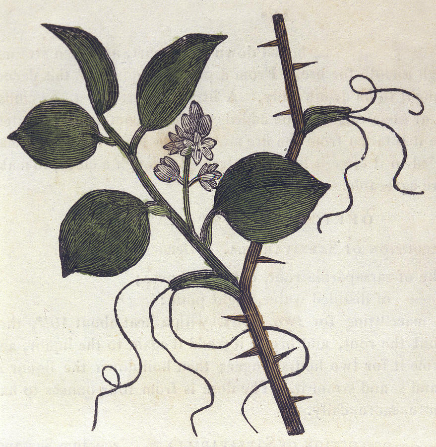 879x900 Chinese Smilax Or China Root Drawing By Mary Evans Picture Library