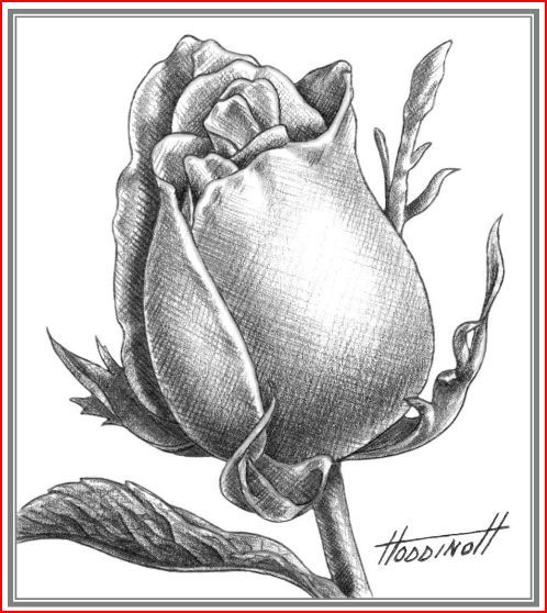 498x558 Pictures Pencil Drawings Of Rose Buds,