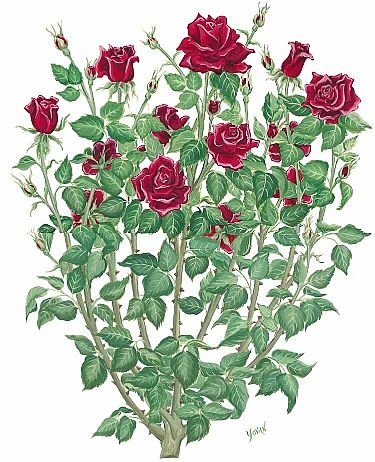 375x462 Rose Bush Drawing, Tattoo Inspiration. I See Lots Of Single Roses