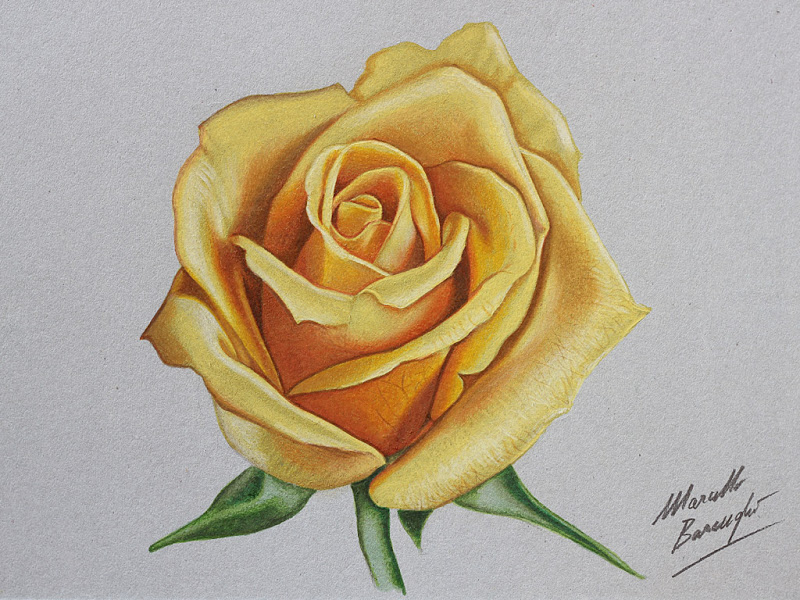 800x600 Yellow Rose Drawing