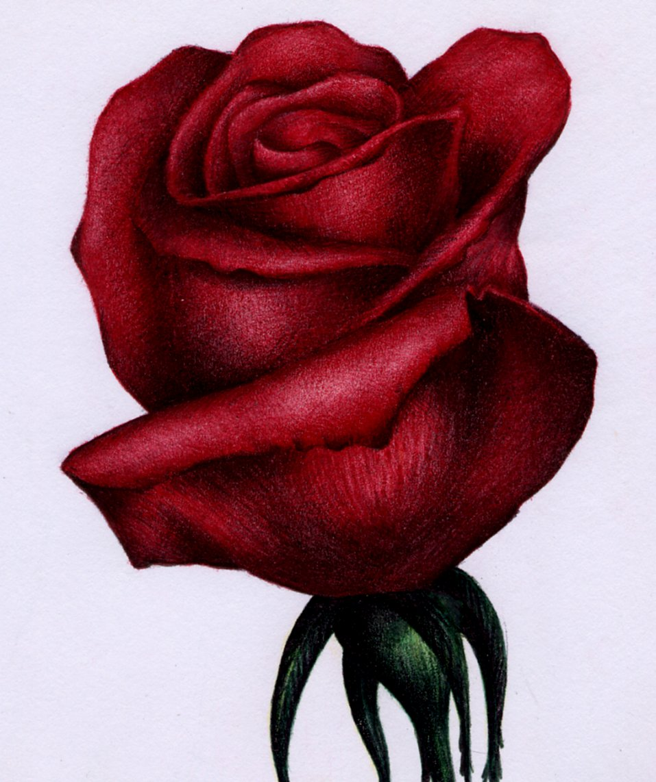 957x1142 Gallery Sketch Picture Of Rose With Colour Pen