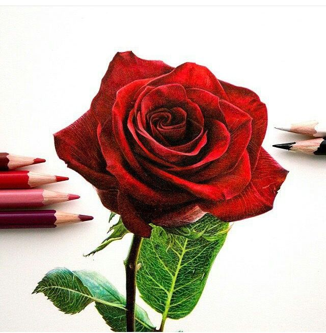 640x654 Pictures Colored Pencil Drawings Of Red Roses