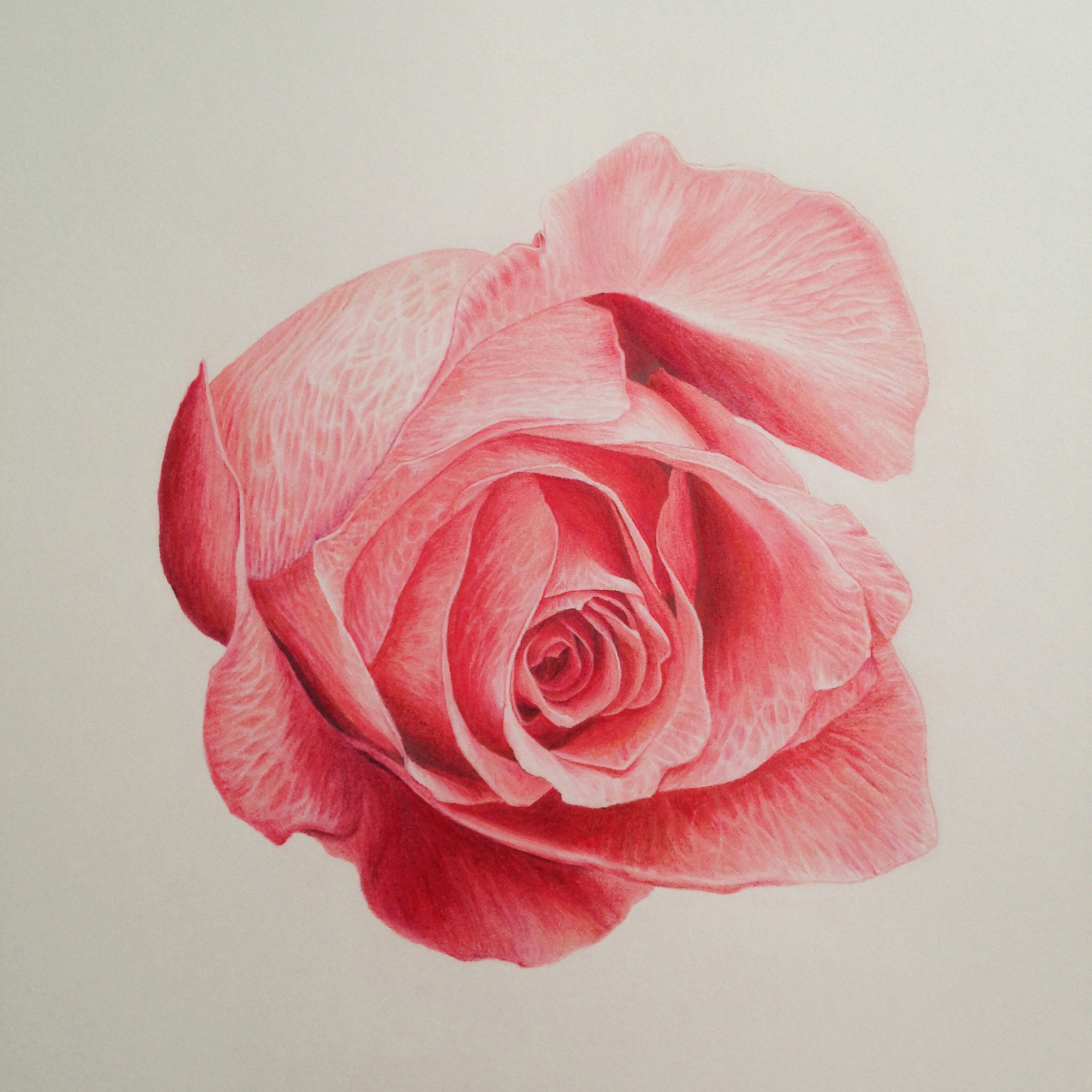 Rose Drawing In Color At Getdrawings Com Free For Personal Use