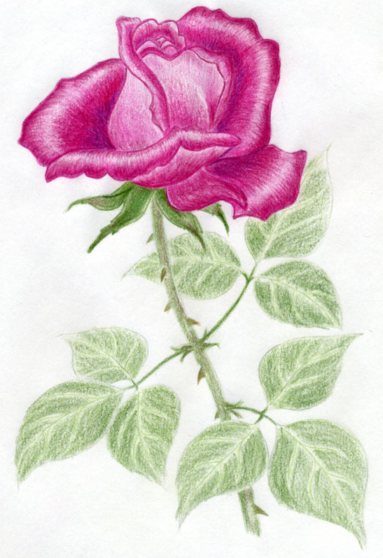 660x689 40 beautiful flower drawings and realistic color pencil drawings 547x797 draw a rose quickly simply and easily