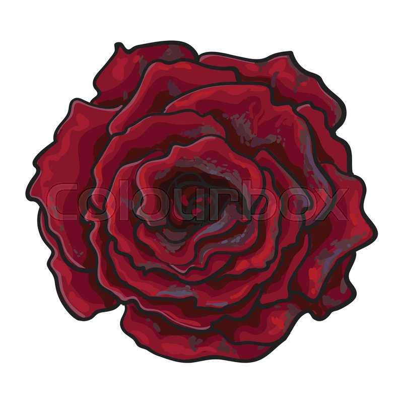 800x800 Deep Red, Ruby Rose Bud, Top View Sketch Style Vector Illustration