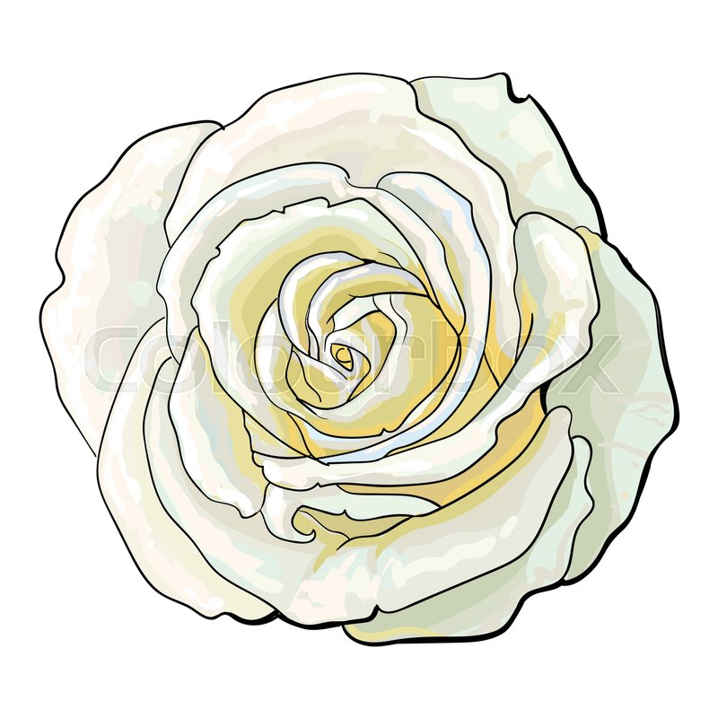 800x800 Deep White Rose Bud, Top View Sketch Style Vector Illustration
