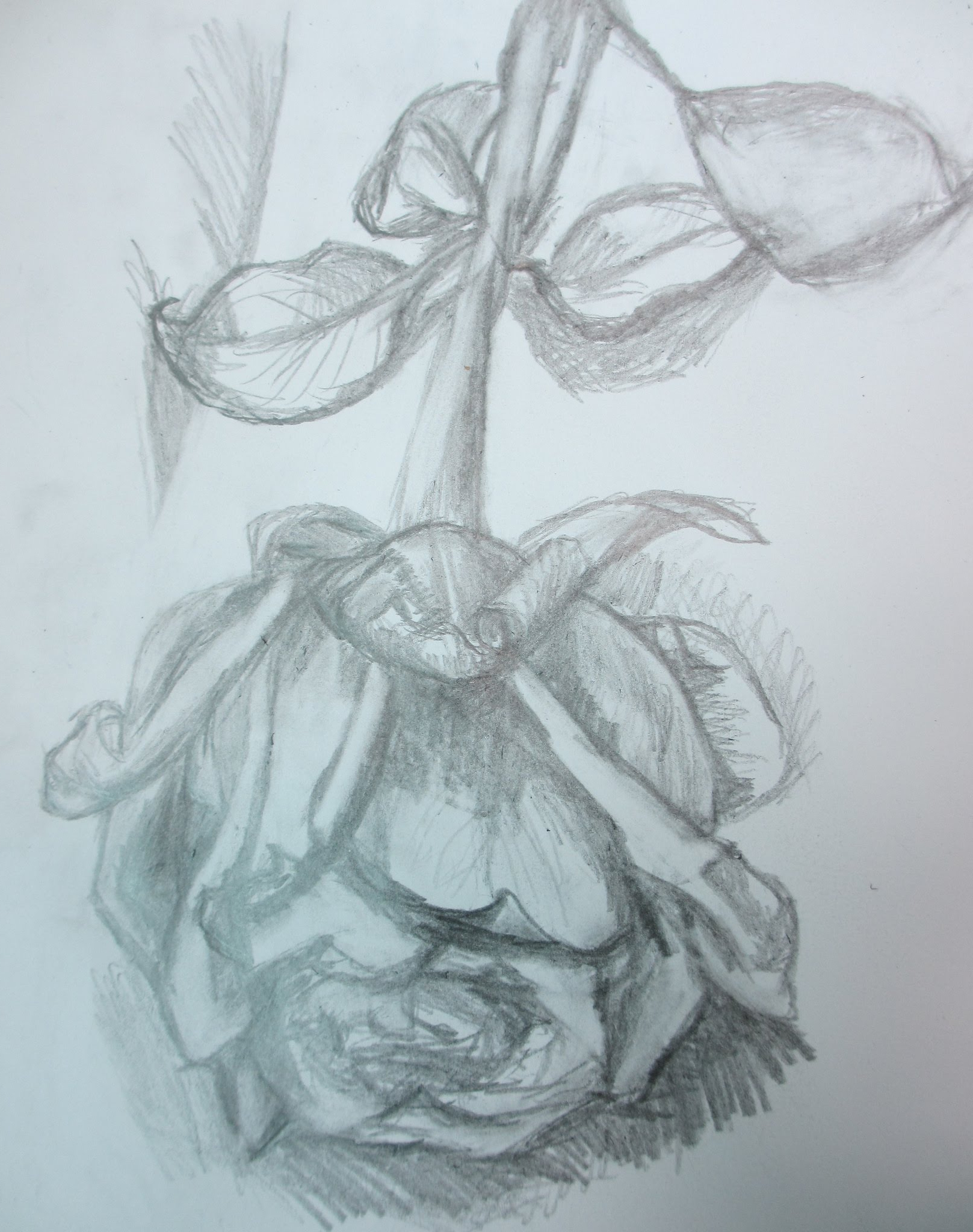 1617x2048 Pencil Sketches Of Rose Flowers Pencil Drawing Half Dead Rose