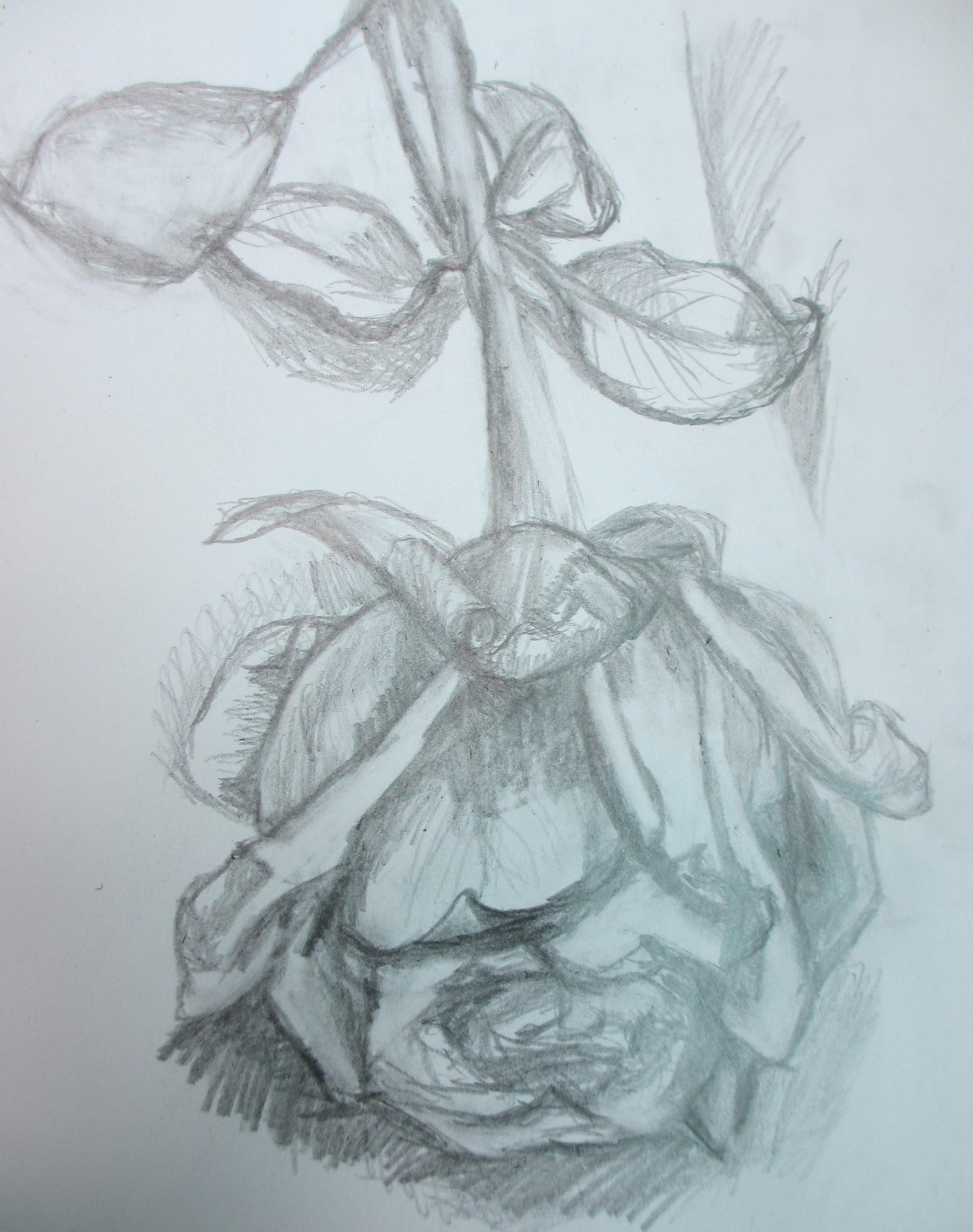 1617x2048 Pencil Drawing Half Dead Rose Flower