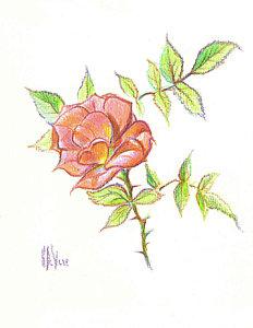 232x300 Rose Garden Drawings Fine Art America