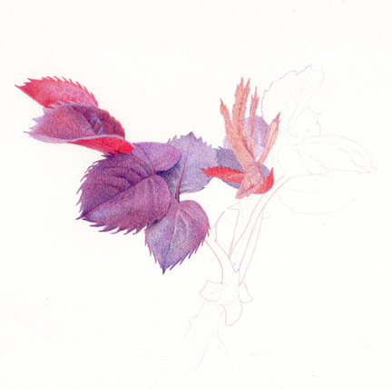432x428 Drawing A Fine Line Rose Leaves