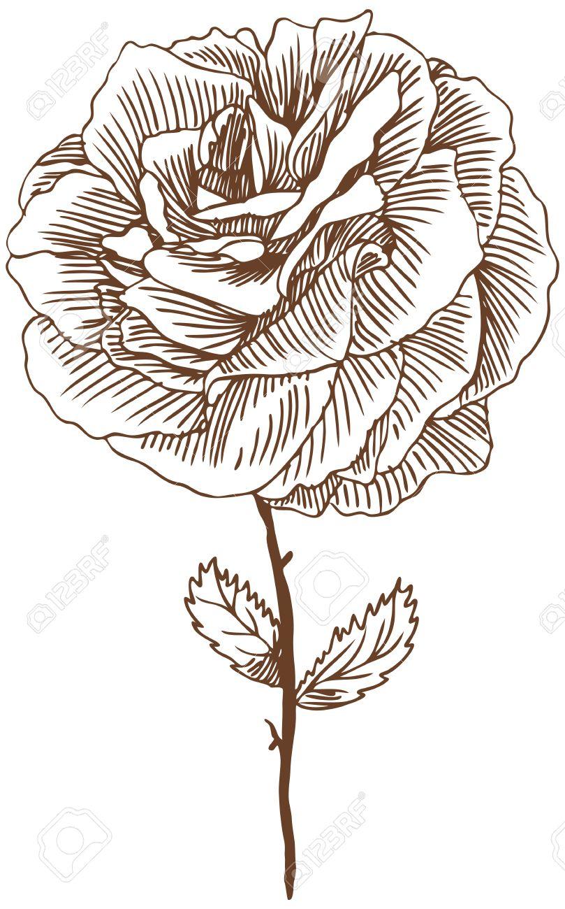809x1300 Rose Drawing Three Beautiful Hand Drawn Rose Bloom Stem