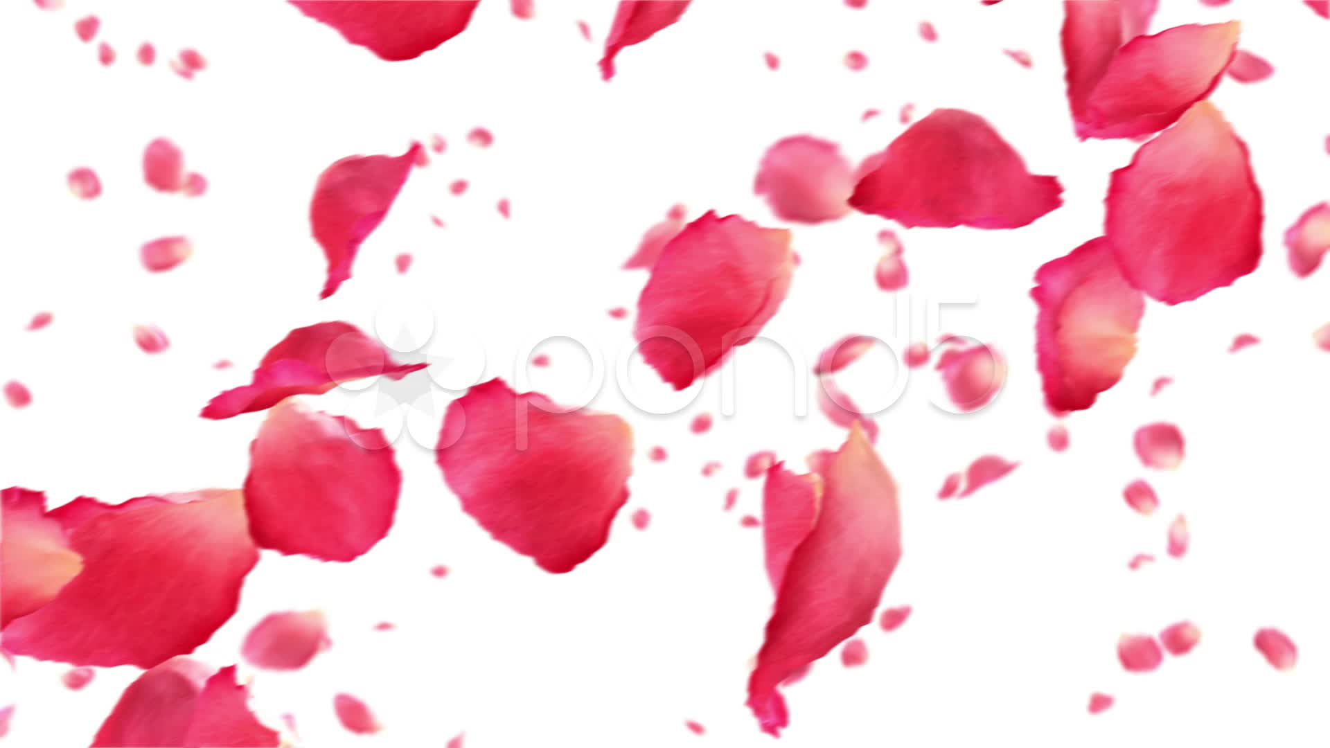 1920x1080 Flying Rose Petals On White HD 1080 Looped Animation Footage
