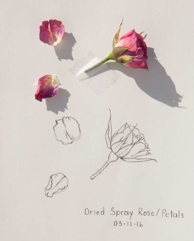 645x800 Daily Sketch Dried Spray Rosepetals