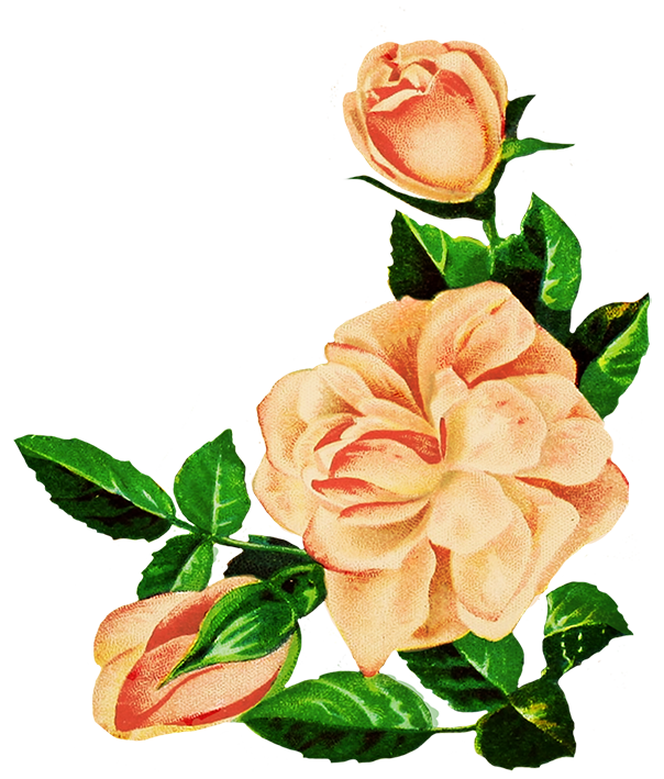 604x709 Rose Clipart