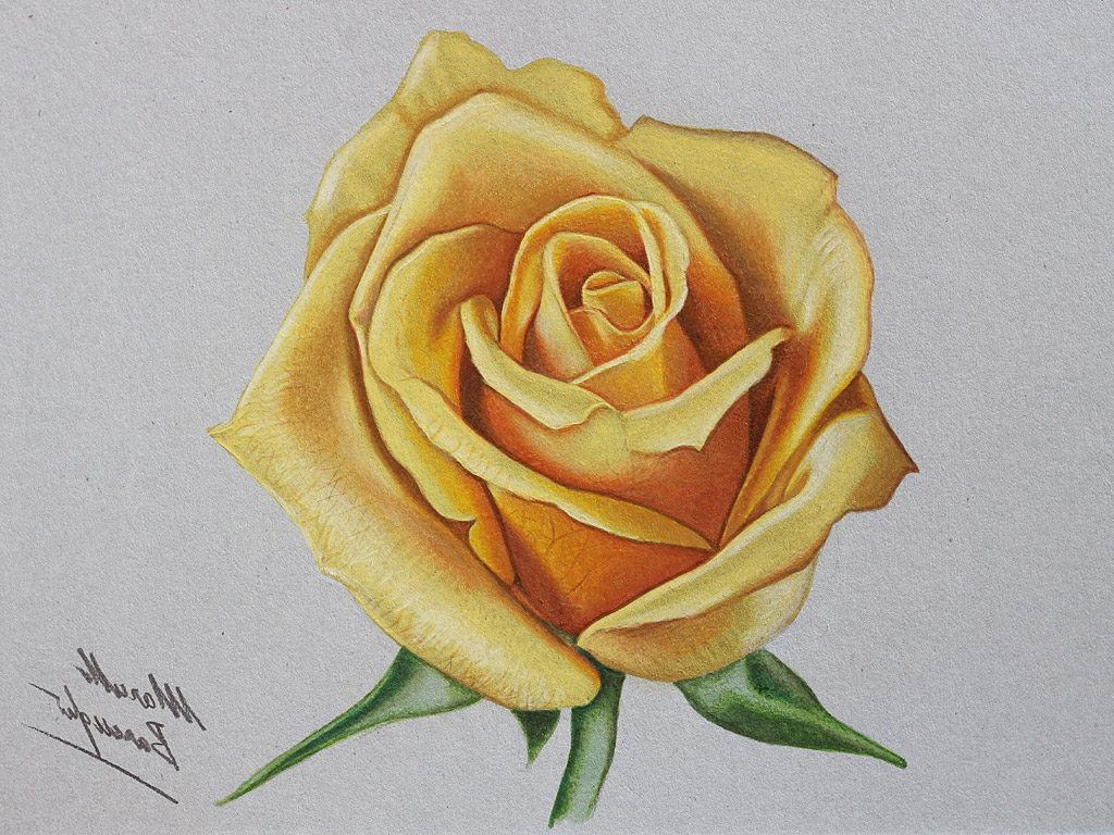 1024x768 Rose Colorful Sketch Rose Colorful Sketch Realistic Rose Drawings