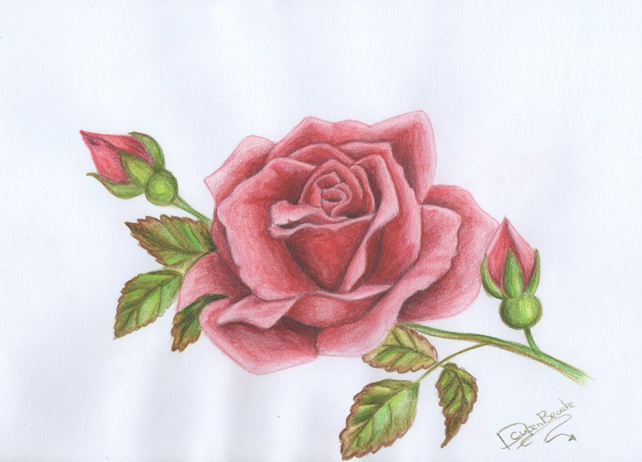 900x648 Drawing Red Rose By Littlefantasydragon
