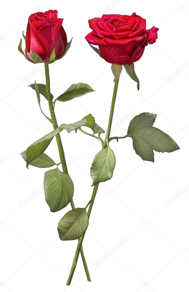 663x1023 Drawing Of Two Red Rose Flowers Stock Photo Rangreiss