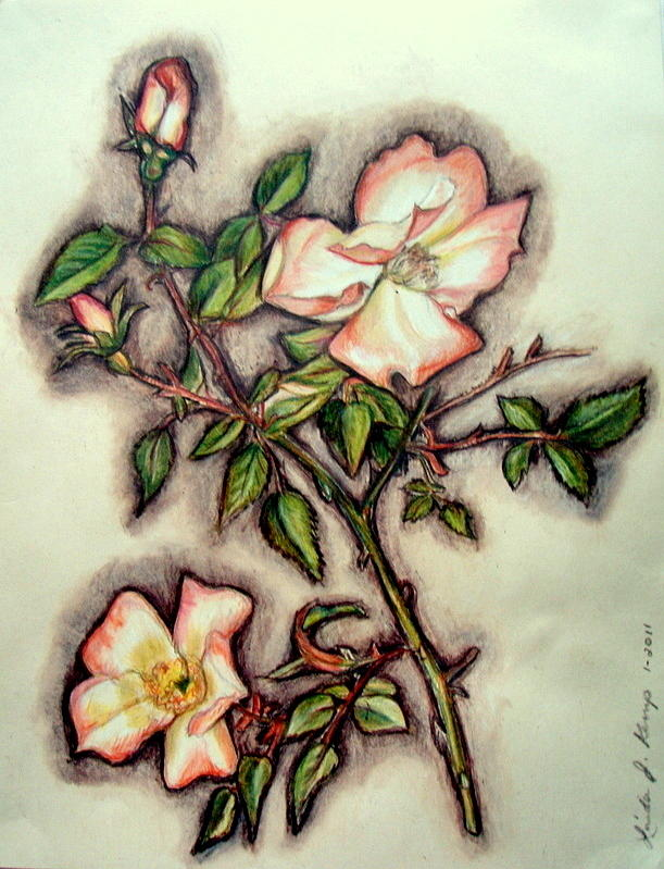 611x799 The Wild Rose Drawing By Linda Nielsen