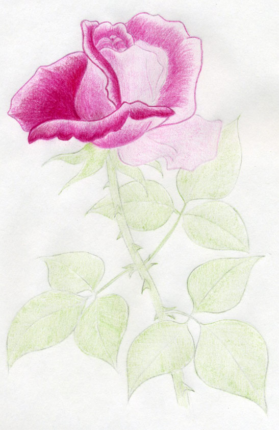 547x842 Draw A Rose Quickly, Simply And Easily