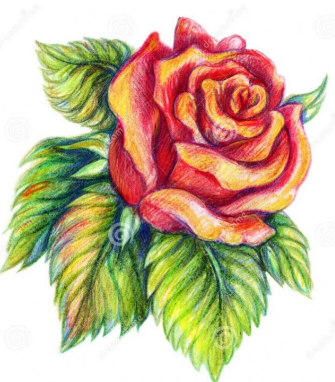 668x762 Sunset Rose Drawing Coloured Pencils