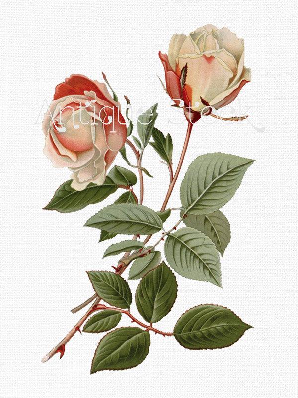 600x800 Drawings Of Roses