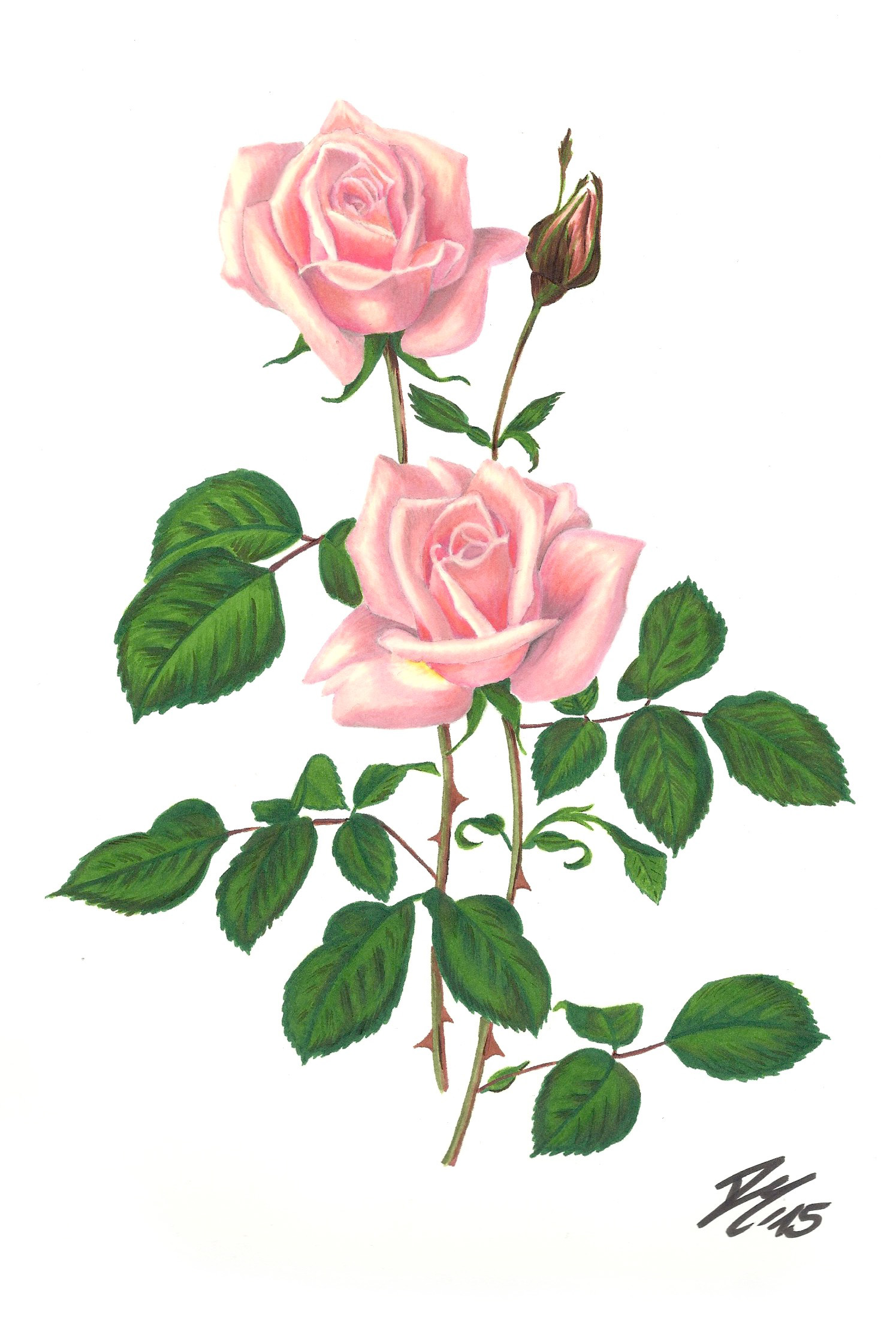 Roses Pictures Drawing at GetDrawings.com | Free for personal use ...