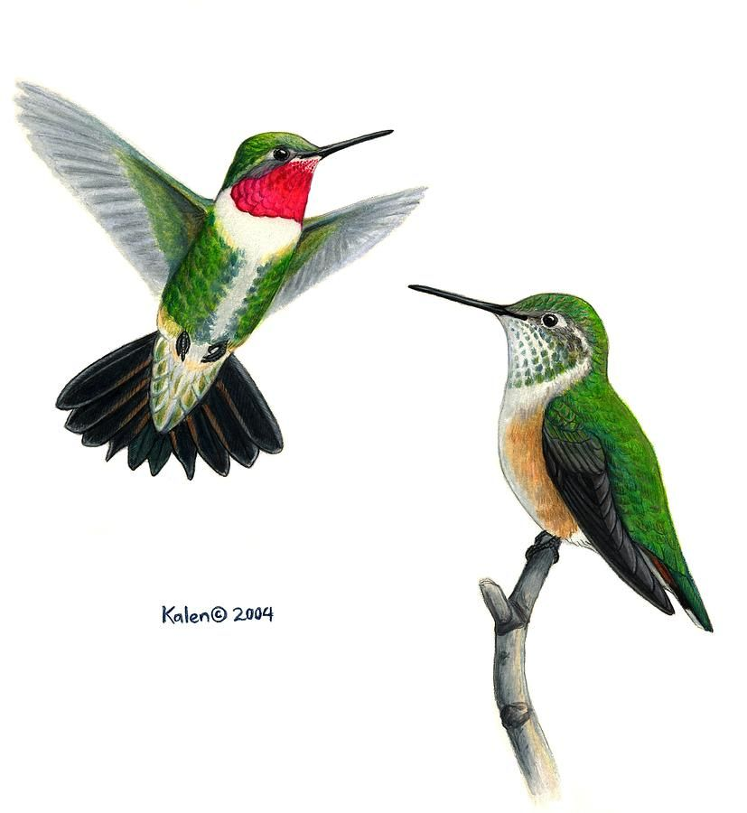 827x900 Broad Tailed Hummingbird Pair Painting