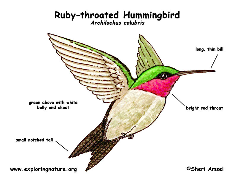 792x612 hummingbird ruby throated