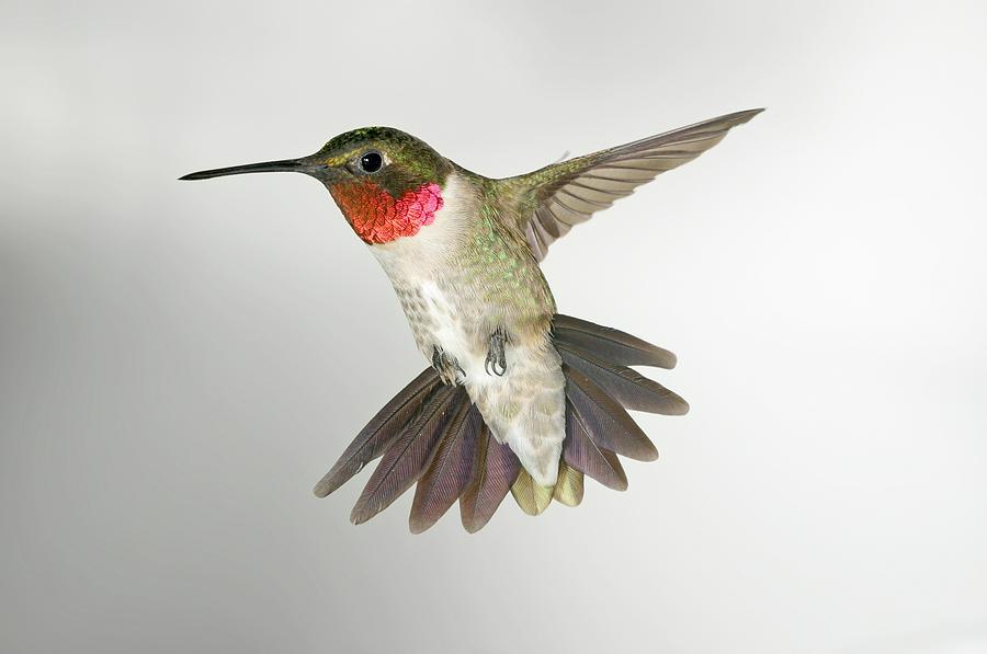 900x597 Ruby Throat Hummingbird Photograph By Gregory Scott
