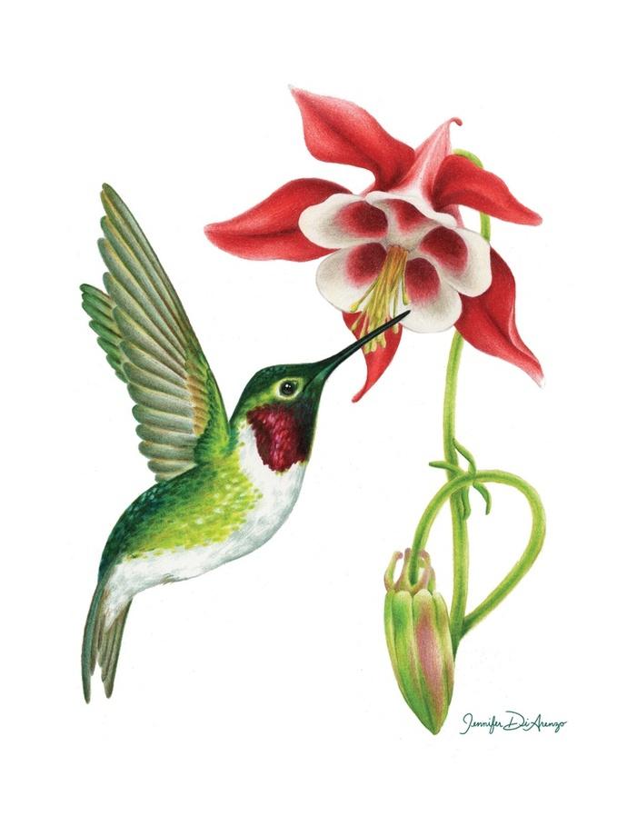 690x920 Ruby Throated Hummingbird And Columbine , An Art Print By Jennifer