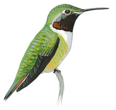 386x366 Ruby Throated Hummingbird Audubon Field Guide