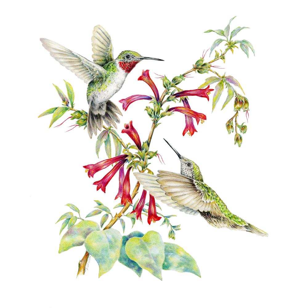 1000x1000 Two Ruby Throated Hummingbirds