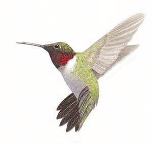 300x286 Hummingbird Drawings