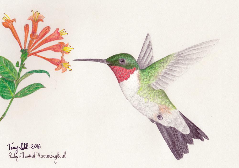 1000x703 Throated Hummingbird