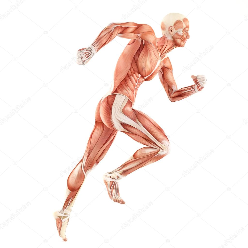 1024x1024 Running Man Muscles Anatomy System Isolated On White Background