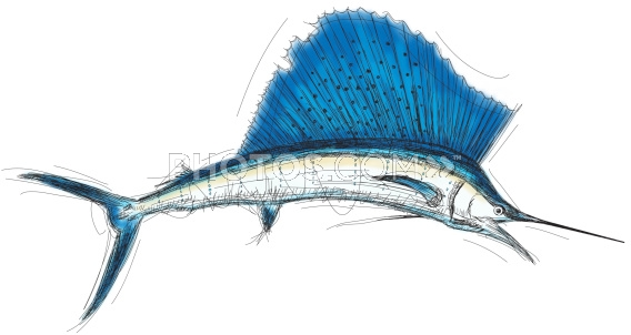 568x302 Line drawing sailfish Stock Illustrations Atlantic Sailfish