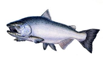 340x219 Chinook Salmon Wildlife Of North America Fish