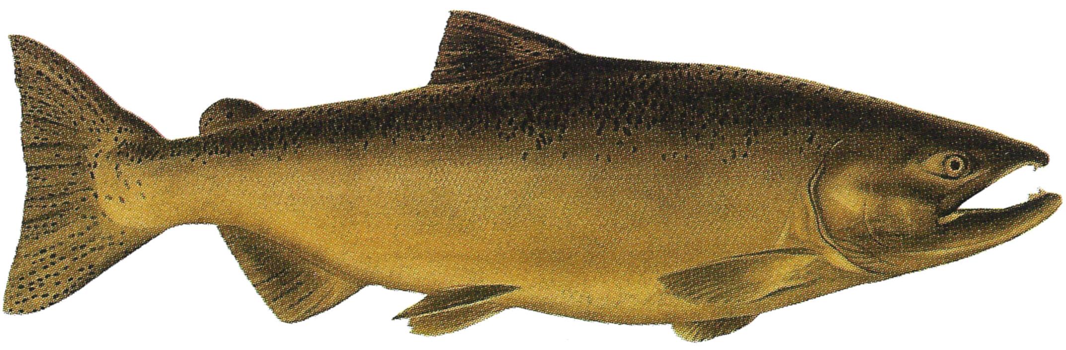 2145x704 Chinook Salmon