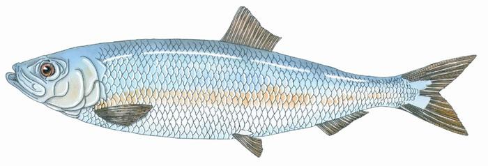 700x238 Fish Penobscot Bay History Online