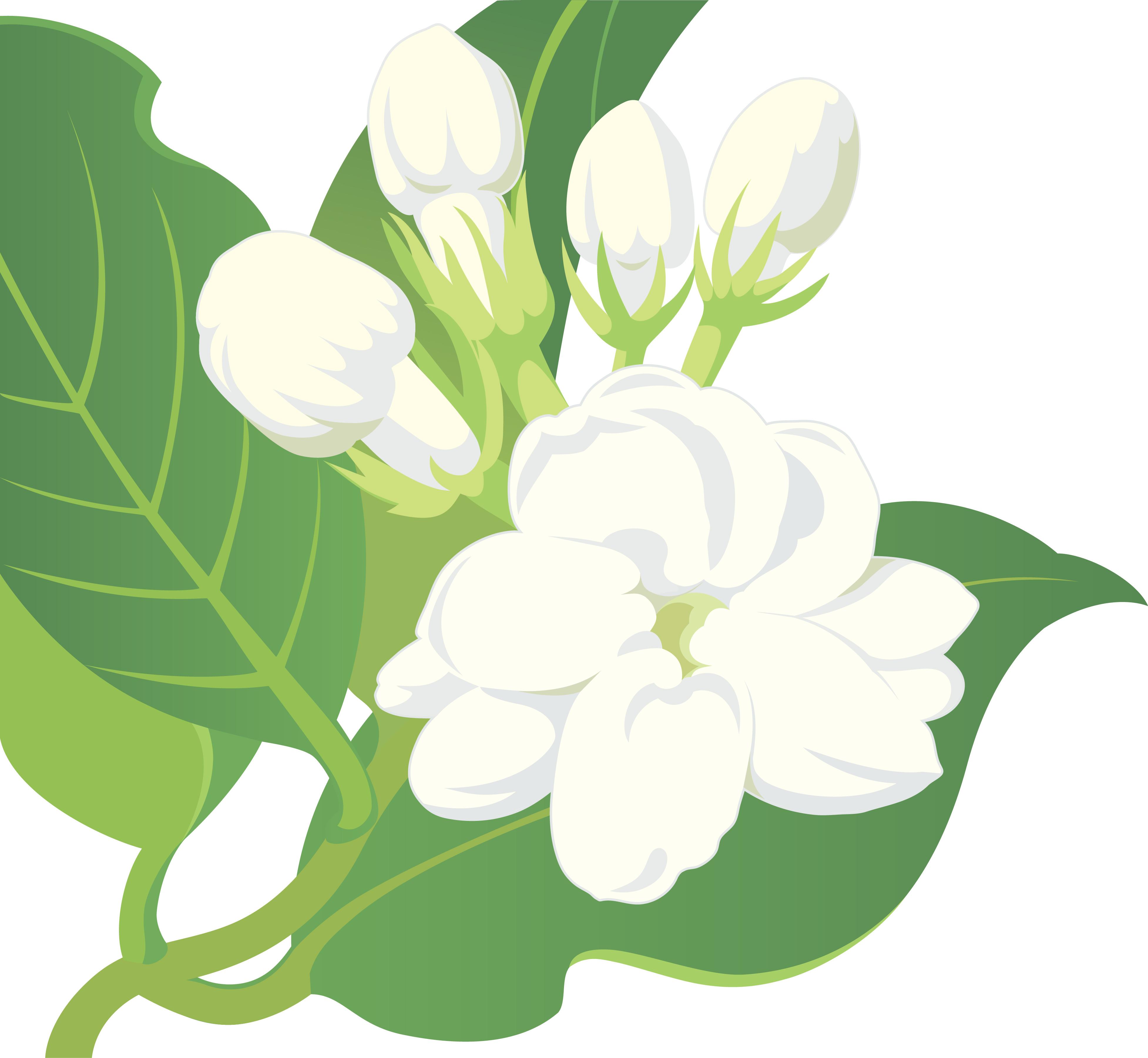 3908x3601 Sampaguita Flower Drawing Jasmine Clipart Jasmine Plant