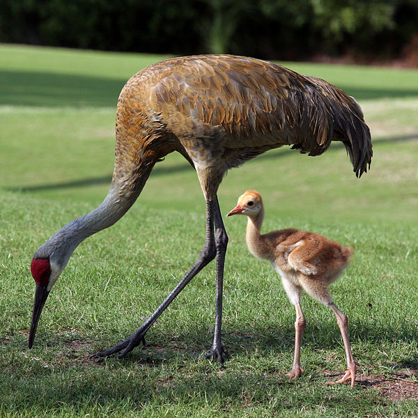 600x600 Critter Of The Month The Sandhill Crane