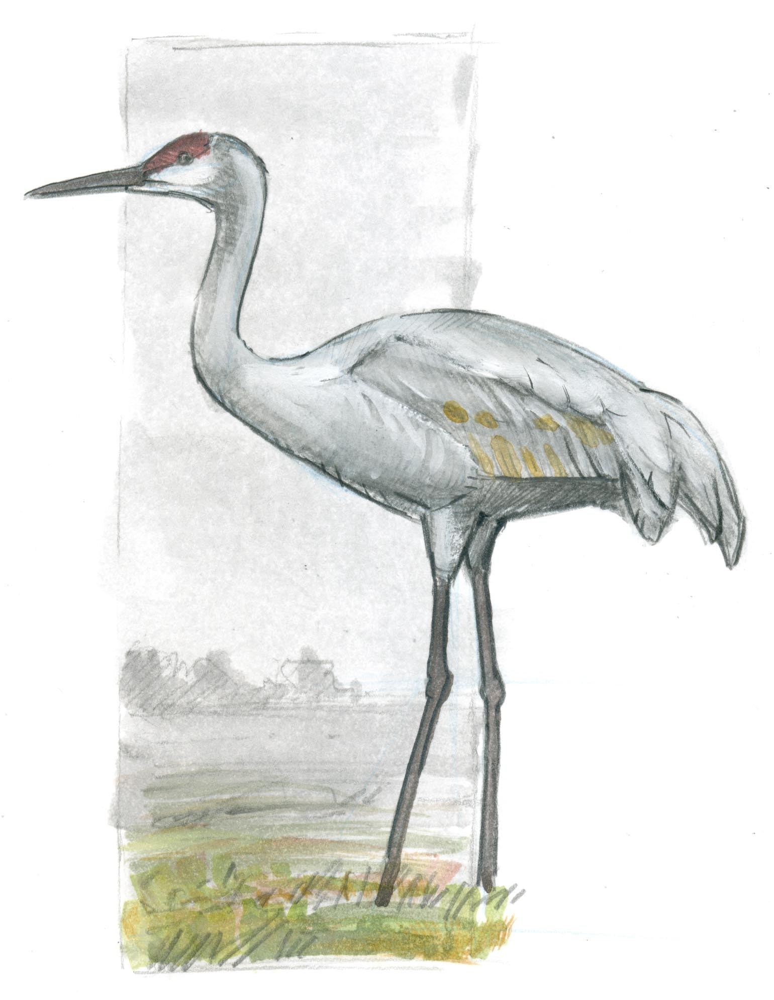 1540x1989 How To Draw A Sandhill Crane Basic Lines
